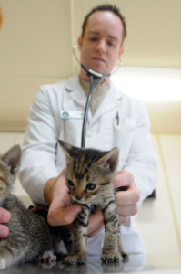 Army Capt. Todd French, officer-in-charge of the Guantanamo Bay Veterinary Treatment Facility, checks the heartbeat of a kitten that was brought into the clinic, April 13. The clinic treats pets of service members and Department of Defense employees who work with Joint Task Force Guantanamo and U.S. Naval Station Guantanamo Bay. JTF Guantanamo conducts safe, humane, legal and transparent care and custody of detainees, including those convicted by military commission and those ordered released by a court. The JTF conducts intelligence collection, analysis and dissemination for the protection of detainees and personnel working in JTF Guantanamo facilities and in support of the War on Terror. JTF Guantanamo provides support to the Office of Military Commissions, to law enforcement and to war crimes investigations. The JTF conducts planning for and, on order, responds to Caribbean mass migration operations.