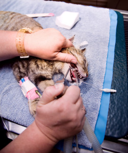 Cat's mouth being irrigated after veterinary dentistry procedure